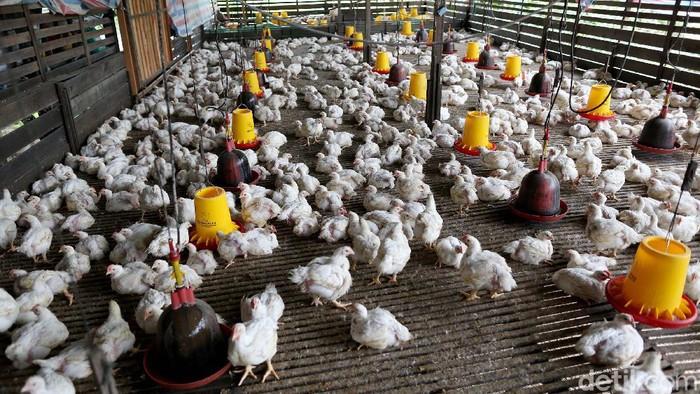 Marsilus atau yang akrab disapa Marsel, salah seorang nasabah kredit BRI memulai bisnis peternakan ayam dengan mengurusi usaha orang tuanya di Putussibau, Kapuas HUlu, Kalimantan Barat.