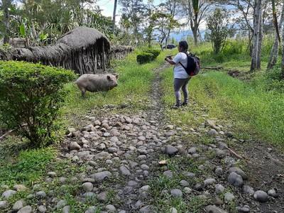 Motret Babi di Lembah Baliem Tanpa Izin Bisa Diminta Bayar Rp 30 Juta