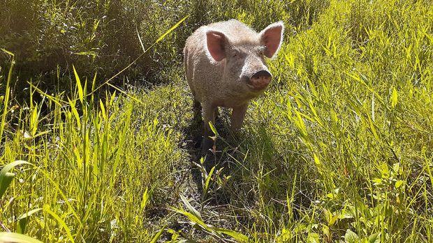 Memotret babi di Lembah Baliem