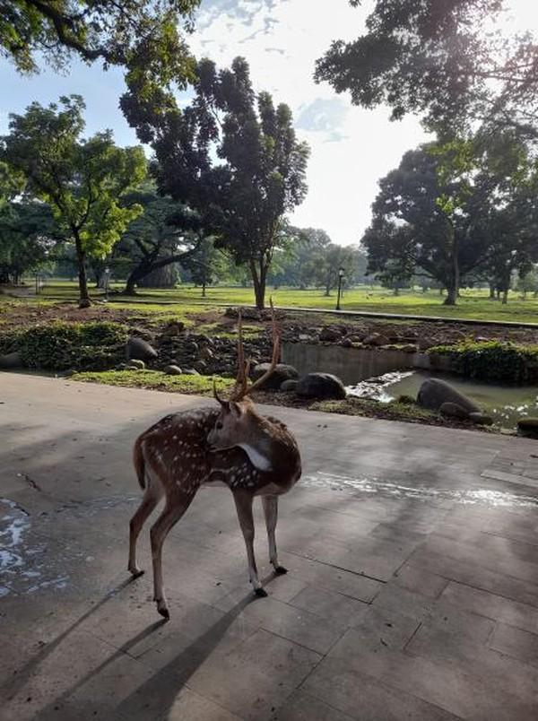 Berkunjung ke Istana Bogor, kamu bisa melihat gedung kepresidenan Republik Indonesia dengan bangunan putih yang sangat megah. Pengunjung pun juga dapat melihat hewan rusa yang ada di halaman Istana. (Intan MN/dTraveler)