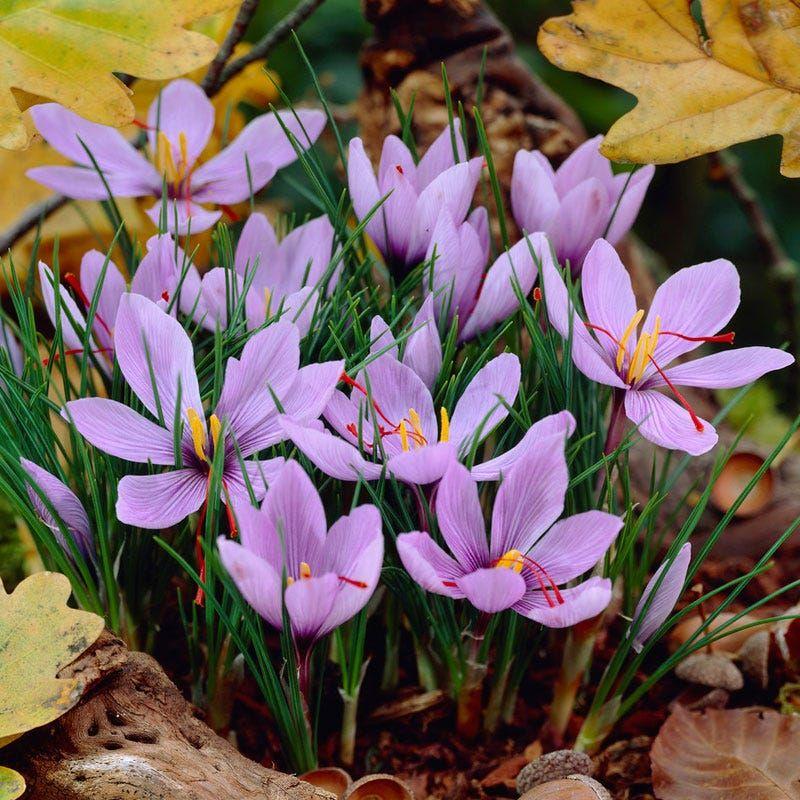Saffron Crocus. (Dok: Istimewa)