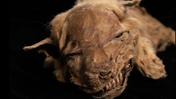 Oleh masyarakat setempat, makhluk yang fosilnya baru saja ditemukan itu diberi nama Zhur. Zhur ditemukan di balik tambang emas Klondike, dekat Dawxon City, Yukon, Kanada.
