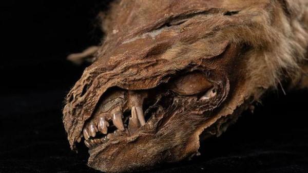 Baru-baru ini ditemukan anakan serigala purba dalam kondisi yang masih sangat bagus. Fosil itu terawetkan sempurna di dalam lapisan permafrost di Kanada.