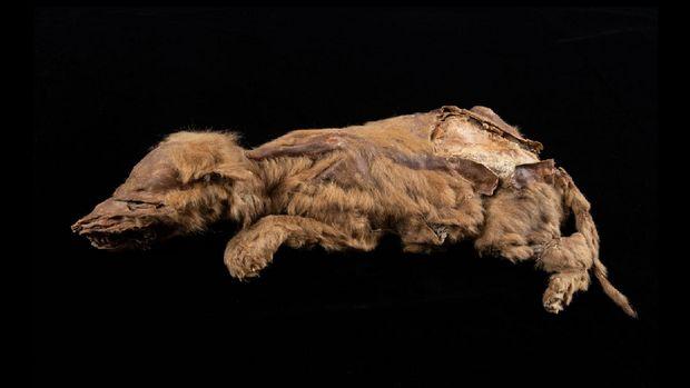 Anakan serigala oruba ditemukan