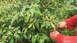 Harga Cabai di Banyuwangi Makin Pedas, Ini Kata Disperta