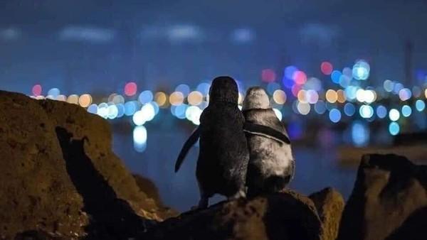 Pasangan penguin itu sebenarnya adalah janda dan duda yang ditinggal mati pasangannya. Penguin jantan muda dengan warna bulu lebih gelap ditinggalkan mati pasangannya. Pun demikian dengan penguin betina dengan bulu lebih terang. (dok. Thomas Baumgaertner)