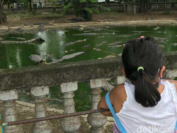 Selain buaya buntung, di sana juga ada ratusan ekor buaya lainnya. Ada buaya Sumatera, buaya Kalimantan dan buaya Papua. Ada juga kolam buaya putih yang terletak di sebelah TBIJ. (Foto: Andi Saputra/detikcom)