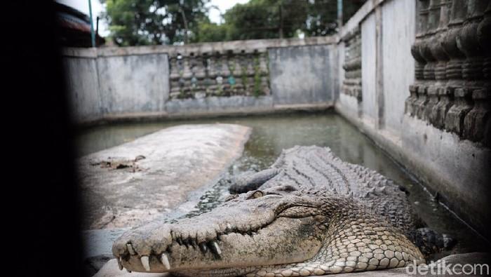 Melihat Buaya Buntung di Bekasi, Diyakini Punya Kekuatan Supranatural