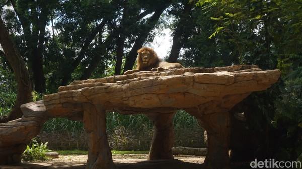 Di sana terdapat sepasang singa yang bernama Tera dan Merlin. Keduanya mulai dilepas kandang pada 20 Desember 2020. Tak jauh dari kandang Tera dan Merlin terdapat cafe dan resto bergaya Afrika.