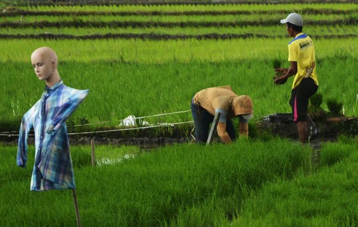 Petani mengambil bibit padi yang akan ditanam di persawahan Kecamatan Somba Opu, Kabupaten Gowa, Sulawesi Selatan, Senin (4/1/2021). Kementerian Pertanian menargetkan produksi padi pada 2021 sebesar 63,50 juta ton dibandingkan pada 2020 hanya sebesar 59,15 juta ton dengan total pagu anggaran yang dialokasikan sebanyak Rp.18,43 triliun. ANTARA FOTO/Abriawan Abhe/hp.