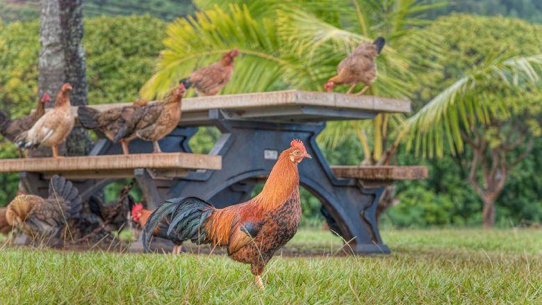 Ayam liar di Hawaii