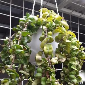 Tanaman Hias Hoya Compacta Lagi Populer, Ini 5 Cara Merawatnya Agar Subur
