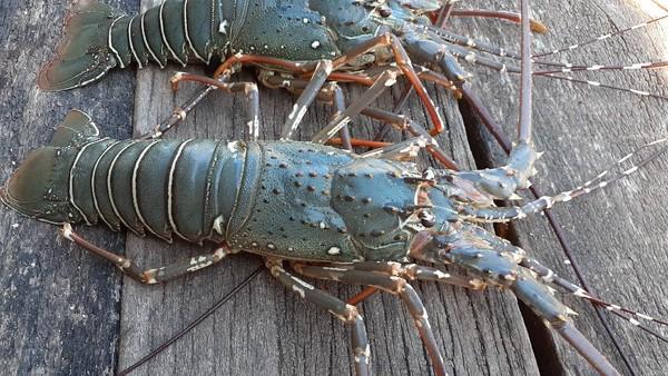 Jika ingin membeli lobster hasil tangkapan cukup murah, cuma Rp 20 ribu untuk satu ekor lobster seberat setengah kilogram. Bagi warga Kampung Goras Papua, lobster kalah dengan ayam kampung yang dianggap sebagai kuliner istimewa.