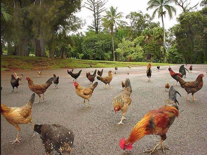 Wow! Ribuan Ayam Liar Hidup Bebas di Hawaii