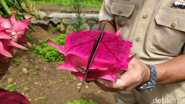 Buah naga khas Cidolog ini pun berbeda dengan yang lain. Warnanya ungu dengan rasa legit dan sangat manis dibandingkan dengan buag naga di pasar. (Dadang Hermansyah/detikcom)