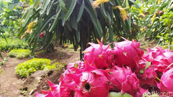 Ada lebih dari 300 lebih tanaman yang semuanya terus berbuah dan tak pernah berhenti. Wisatawan bisa mencicip dan memetik sendiri lalu dikilo. (Dadang Hermansyah/detikcom)