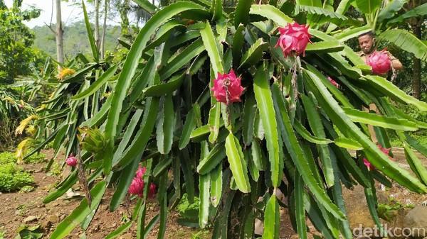 Pemilik agrowisata akan terus menambah jumlah tanaman buah naga ini sehingga bisa menjadi destinasi unggulan di Kecamatan Cisaga, Kabupaten Ciamis. (Dadang Hermansyah/detikcom)