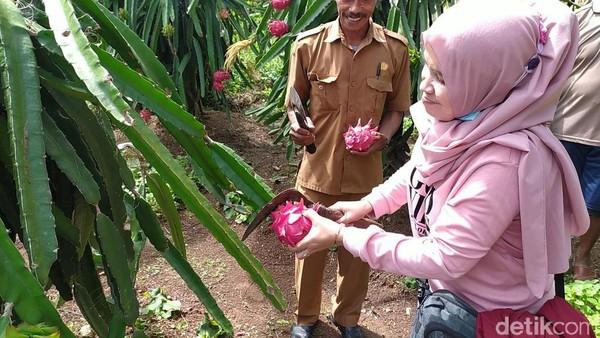 Ciamis punya destinasi baru yang menarik untuk traveler, yaitu Wisata Petik Buah Naga. Di sini kamu bisa mencicip buah sebelum memetik dan membelinya. (Dadang Hermansyah/detikcom)