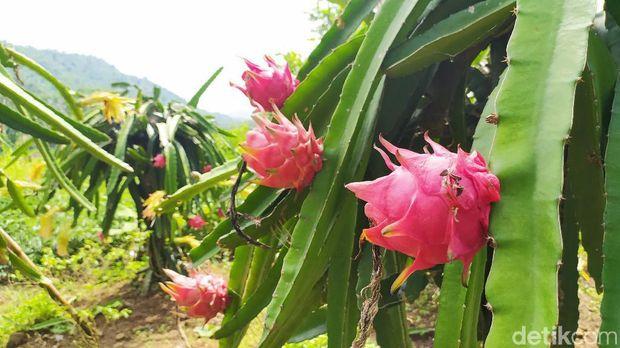 Agrowisata buah naga Cidolog Ciamis