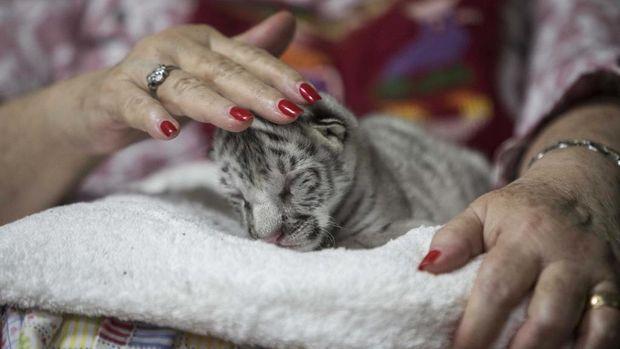 Marina Arguello merawat harimau putih perempuan di Kebin Binatang di Mayasa, Nikaragua 5 Januari 2021 (Photo by INTI OCON / AFP)