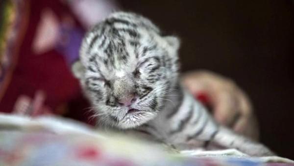 Anak harimau itu lahir dengan berat kurang dari 1 kg.