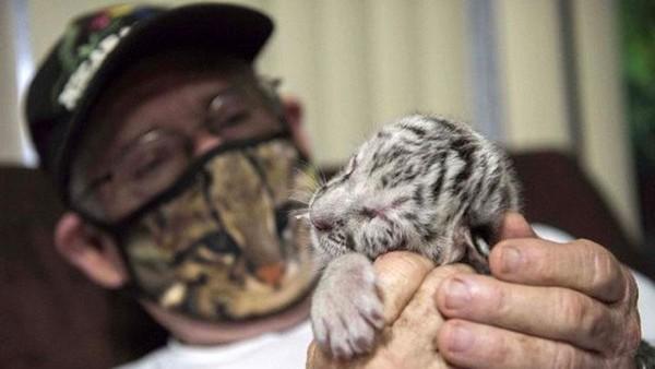 Oleh kebun binatang, bayi harimau putih itu diberi nama Nieve yang artinya salju.