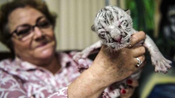 Anak harimau putih perempuan itu lahir pekan lalu.