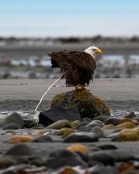 Saat elang tertangkap kamera sedang buang air besar. (Bored Panda)