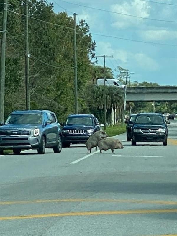Babi, jangan di jalan ya. Kamu membuat manusia-manusia menjadi bingung. (Bored Panda)