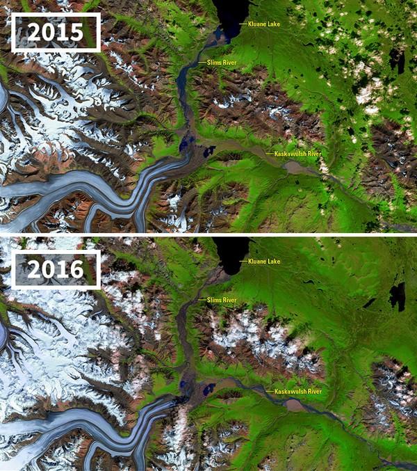 Lelehan Gletser Kaskawulsh yang mengubah ekosistem dalam satu tahun saja.