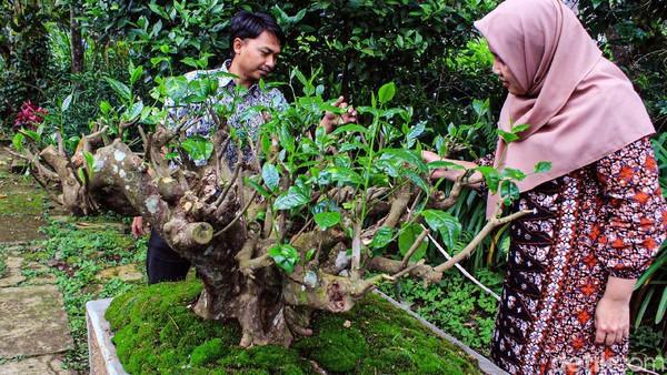 Pohon teh itu memiliki batang teh yang unik layaknya bonsai, nampak kokoh dan tidak rapuh termakan usia. Kini, batang pohonya berdiameter sekitar satu meter. Sudah hampir dua bulan, sejumlah daun teh pun mulai tumbuh. Diketahui, pohon itu merupakan pohon yang ditanam langsung dari biji atau seedling. Yang mana memiliki kelebihan, yakni kuat apabila terserang hama karena termasuk sebagai penyangga genetik. Istimewanya lagi, pohon tersebut merupakan teh yang ditanam langsung oleh Kerkhoven yang menjadi tokoh berpengaruh di dunia industri teh selain K.A.R. Bosscha. Pohon teh itu jenis Asamika, yang banyak tumbuh di Srilanka.