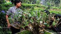 Perkebunan teh Gambung yang berlokasi di Pasirjambu, Kabupaten Bandung, diketahui telah berusia ratusan tahun.