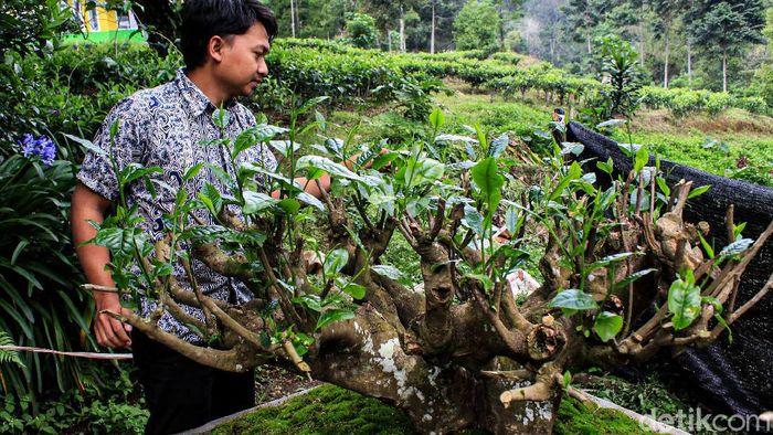 Teh jadi salah satu komoditi andalan di Jawa Barat sejak ratusan tahun lalu. Jejak sejarah teh di Jabar dapat ditelusuri di kebun teh Gambung, Kabupaten Bandung