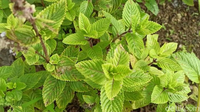 Di tengah pandemi, tanaman Cincau Hitam (Mesona Palustris) menjadi primadona petani di Bastem Utara, Kabupaten Luwu, Sulawesi Selatan.