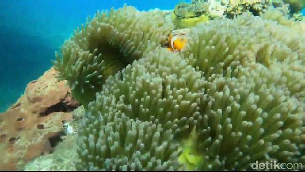 Alam bawah laut Pantai Bohay menyajikan 550 jenis terumbu karang dan sedikitnya 600 jenis ikan. Air lautnya juga begitu jernih. (M Rofiq/detikcom)
