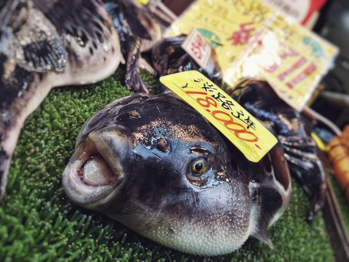 6 Ton Ikan Buntal Dilelang Akibat Pandemi Berlanjut di Jepang