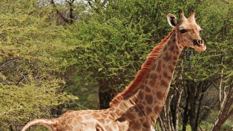 Jerapah kerdil di Namibia
