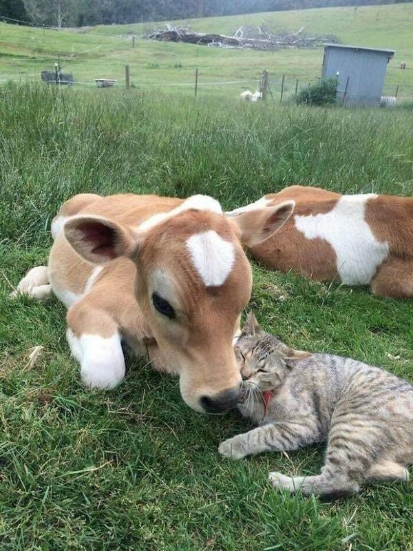 Persahabatan kucing dan sapi nih.