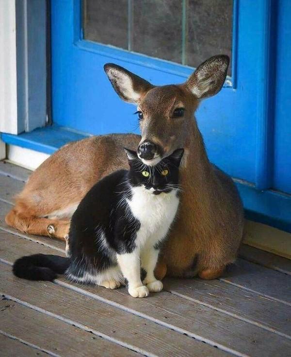 Siapa yang bisa mengalahkan pose manja rusa dan kucing ini?