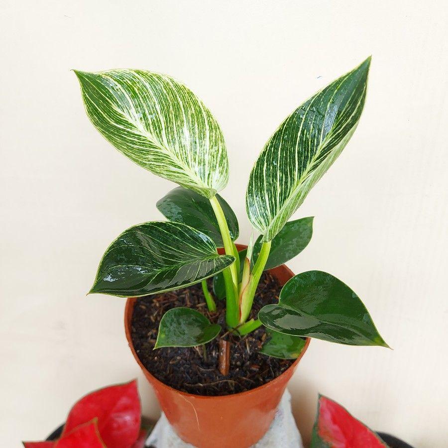 Tanaman Philodendron Birkin (Tangkapan Layar via Tokopedia/quincai flowers)