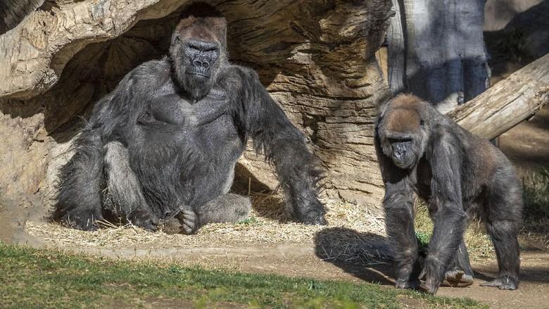 Gorila di San Diego terinfeksi Corona