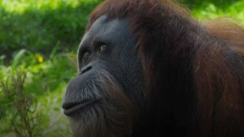 Orang utan tertua di dunia, asal Sumatera yang senang melihat isi tas para pengunjung, mati di kebun binatang di AS pada umur 61 tahun