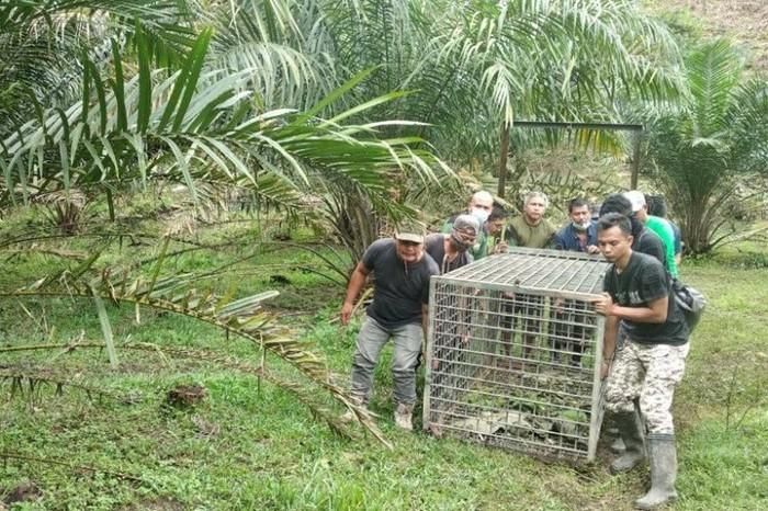 Tim BBKSDA Sumatera Utara menyiapkan perangkap untuk harimau sumatra di Langkat. (ANTARA/HO)