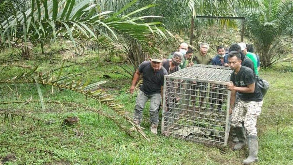 BKSDA Pasang Perangkap Usai 5 Sapi Dimangsa Harimau di Langkat Sumut