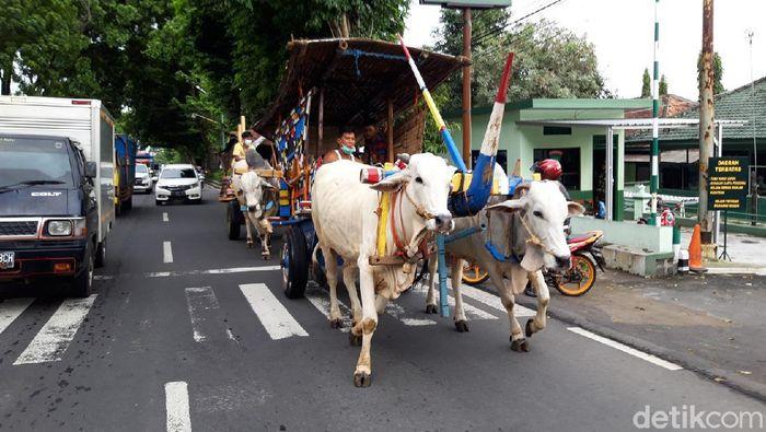 Tiga gerobak sapi melintas di jalan Solo-Semarang dekat Makodim 0726/Boyolali, Rabu (13/1/2021).