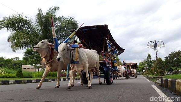 Menurut Wahid, jalan-jalan sore dengan gerobak sapi sekedar untuk mengisi waktu luang sekaligus memperkuat otot-otot sapi serta nguri-uri budaya gerobak sapi.