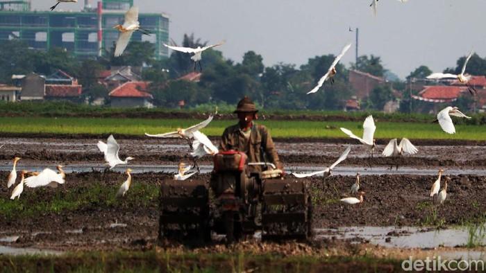 Puluhan burung kuntul mencari makan di pesawahan Desa Bojongemas, Solokanjeruk, Kabupaten Bandung. Mereka menemani petani yang tengah bekerja.