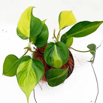 Tanaman hias sirih gading yang digemari para pecinta tanaman