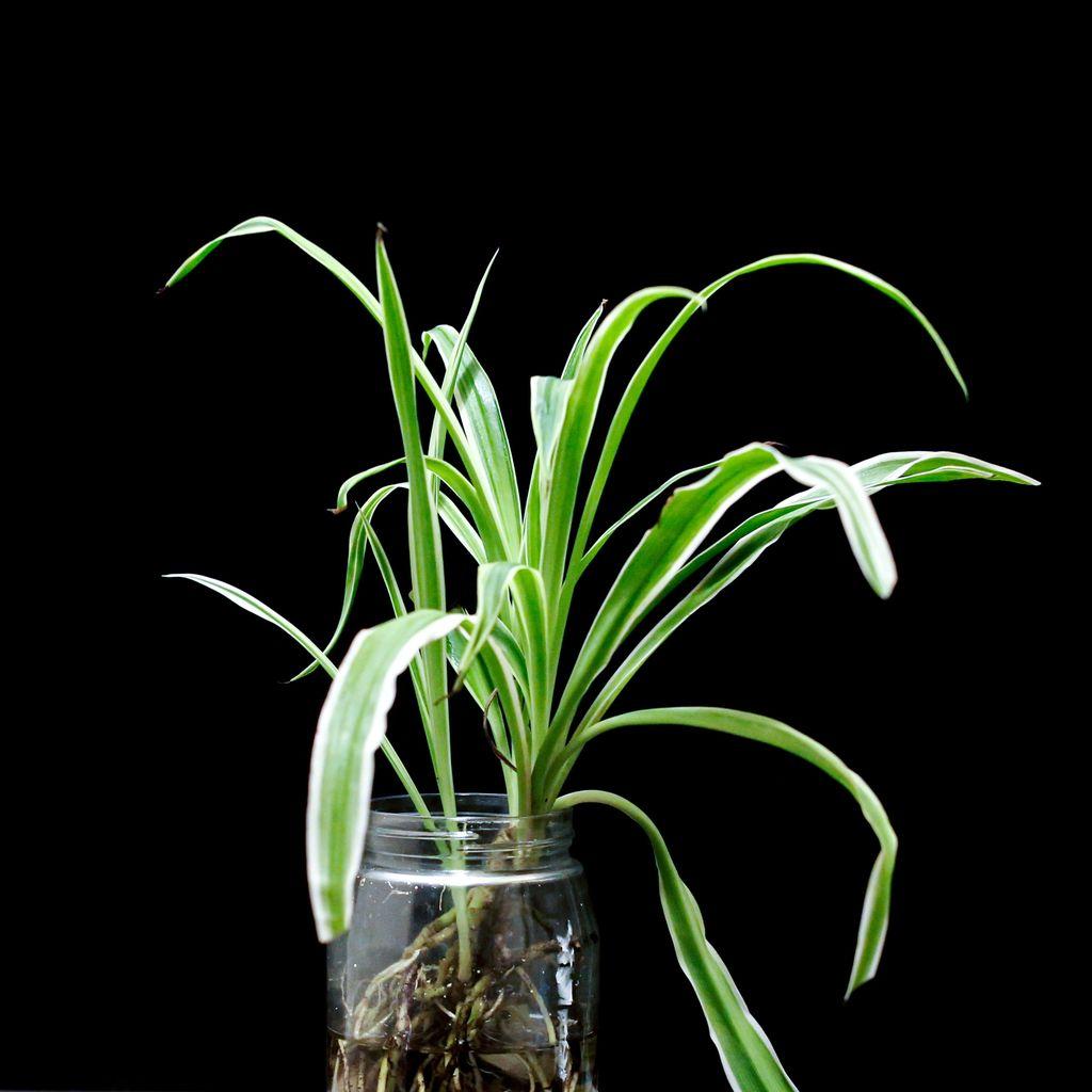 Tanaman spider plant (Photo by 王维家 on Unsplash)