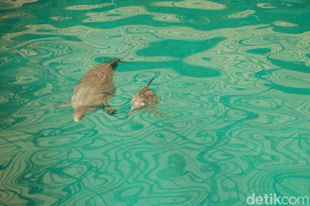Lumba-lumba Hidung Botol atau dolphin berhasil lahir di Taman Safari Prigen, Pasuruan